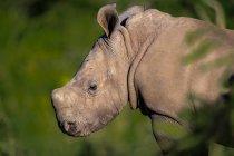View of rhinoceros in natural habitat — Stock Photo