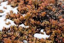 Листи, покриті снігом — стокове фото