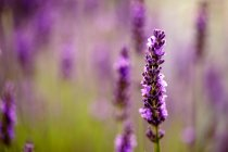 Flor flor del jardín de lavanda - foto de stock