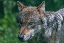 Wolf im natürlichen Lebensraum — Stockfoto