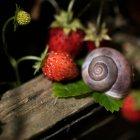 Fresas frescas y concha de caracol - foto de stock