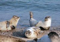 Manada de focas en la playa - foto de stock