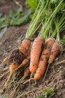Раннеспелая морковь вид — стоковое фото