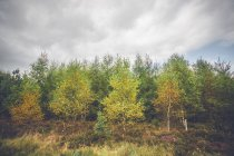 Birch trees in autumn colors — Stock Photo
