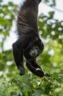 Mono colgado en el árbol y conseguir hojas - foto de stock