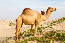 Dromedare Kamele Weiden in Wüste — Stockfoto
