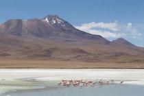 Flamingos on Laguna Hedionda, mountains on background — Stock Photo