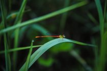 Nahaufnahme des grünen Grases mit Libelle — Stockfoto