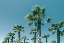 Low angle view of palm trees under clear blue sky — Stockfoto