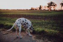 Dalmatian dog in countryside farm field on road — Stock Photo