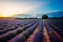 Scenic view of lavender field under sunny sky in Southern France — Stock Photo