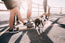 Faible section de personnes marchant avec chien, chiot American Pit Bull Terrier avec laisse — Photo de stock