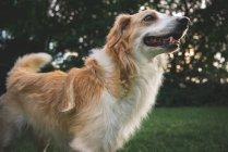 Adorable behaarten Hund stehend auf grüner Wiese — Stockfoto