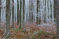 Frost covered trees in forest in wintertime — Stock Photo
