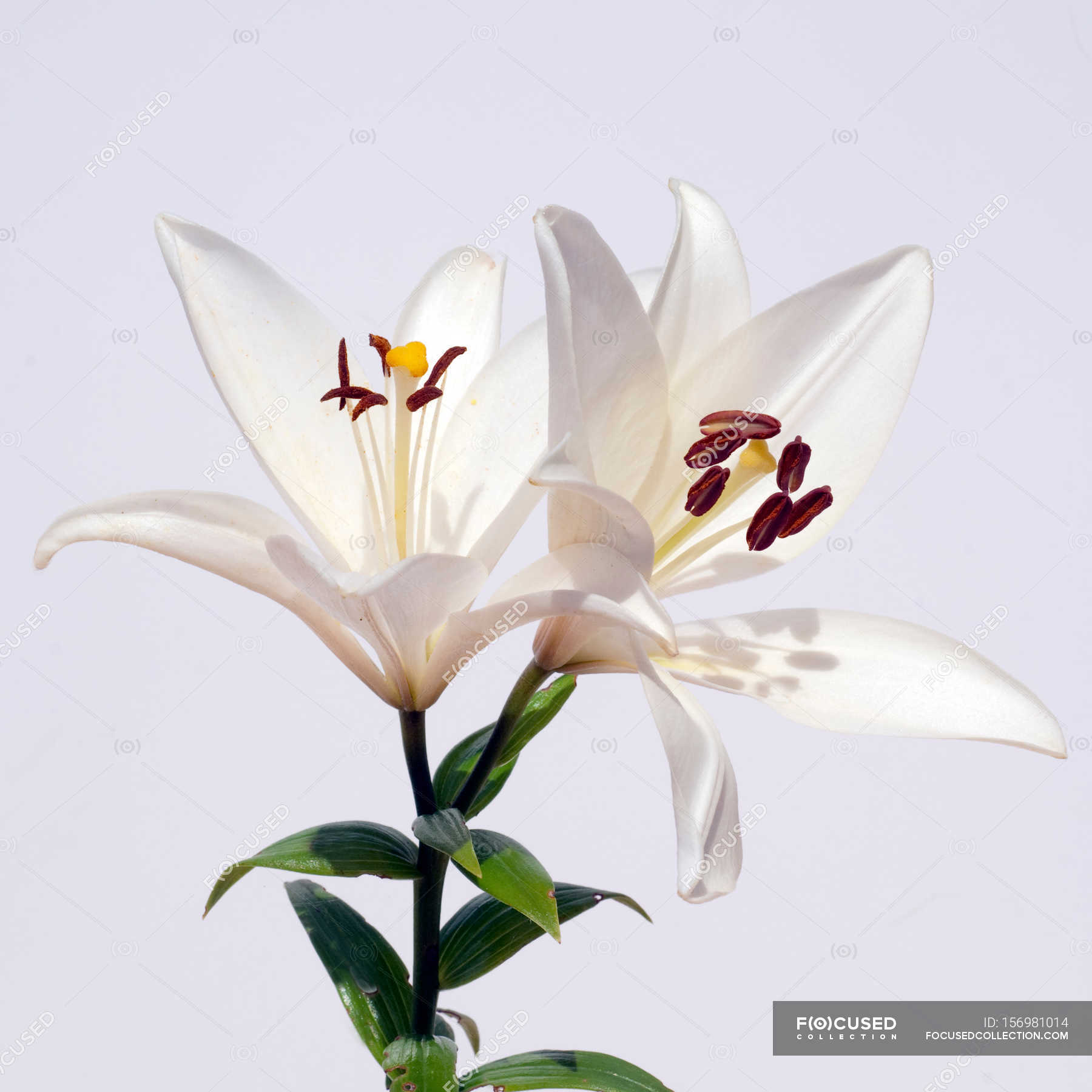 White lily flowers stock photo 156981014 izmirmasajfo