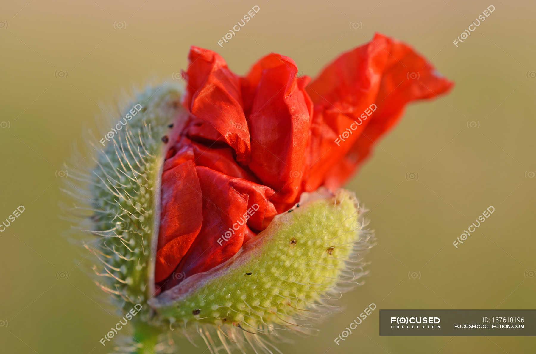 Blossoming Poppy Flower Bud Stock Photo 157618196
