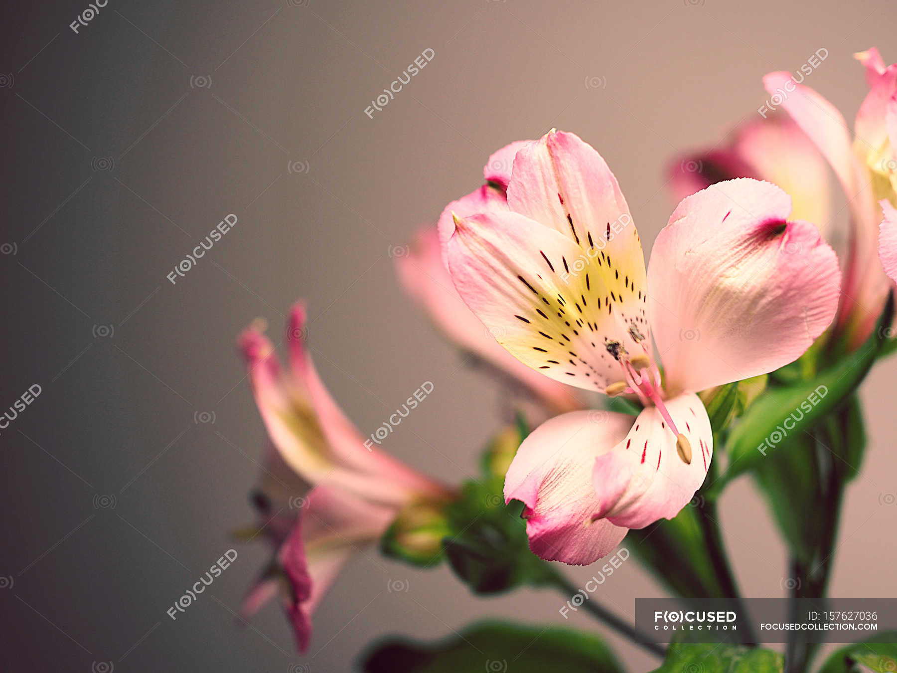 Pink spotted lily flowers stock photo 157627036 izmirmasajfo