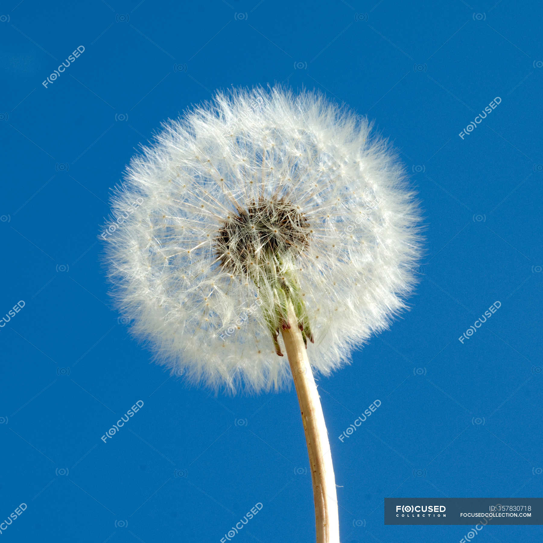 dandelion flower against of blue sky — stock photo | #157830718
