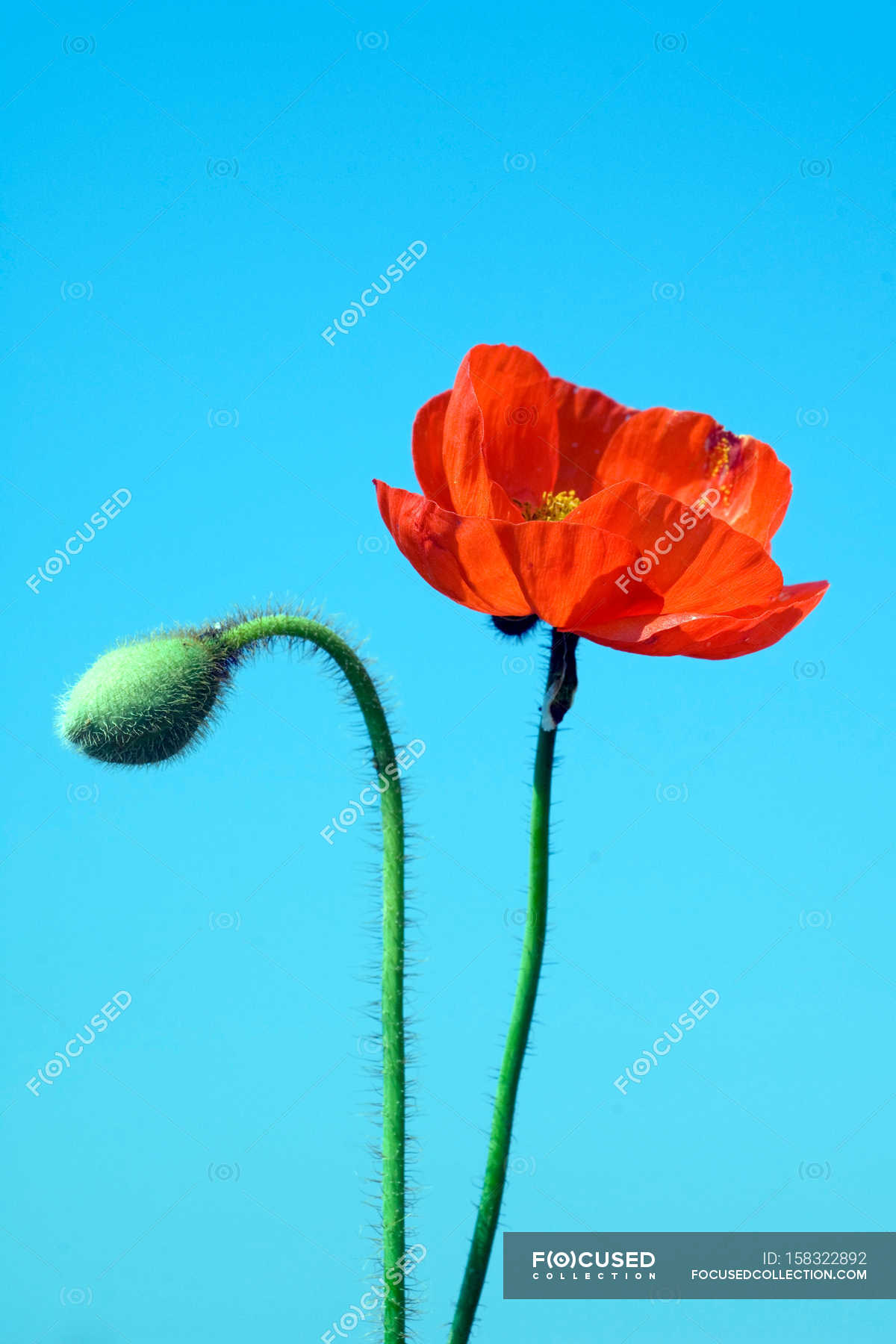 Blossoming Poppy Flower And Bud Stock Photo 158322892