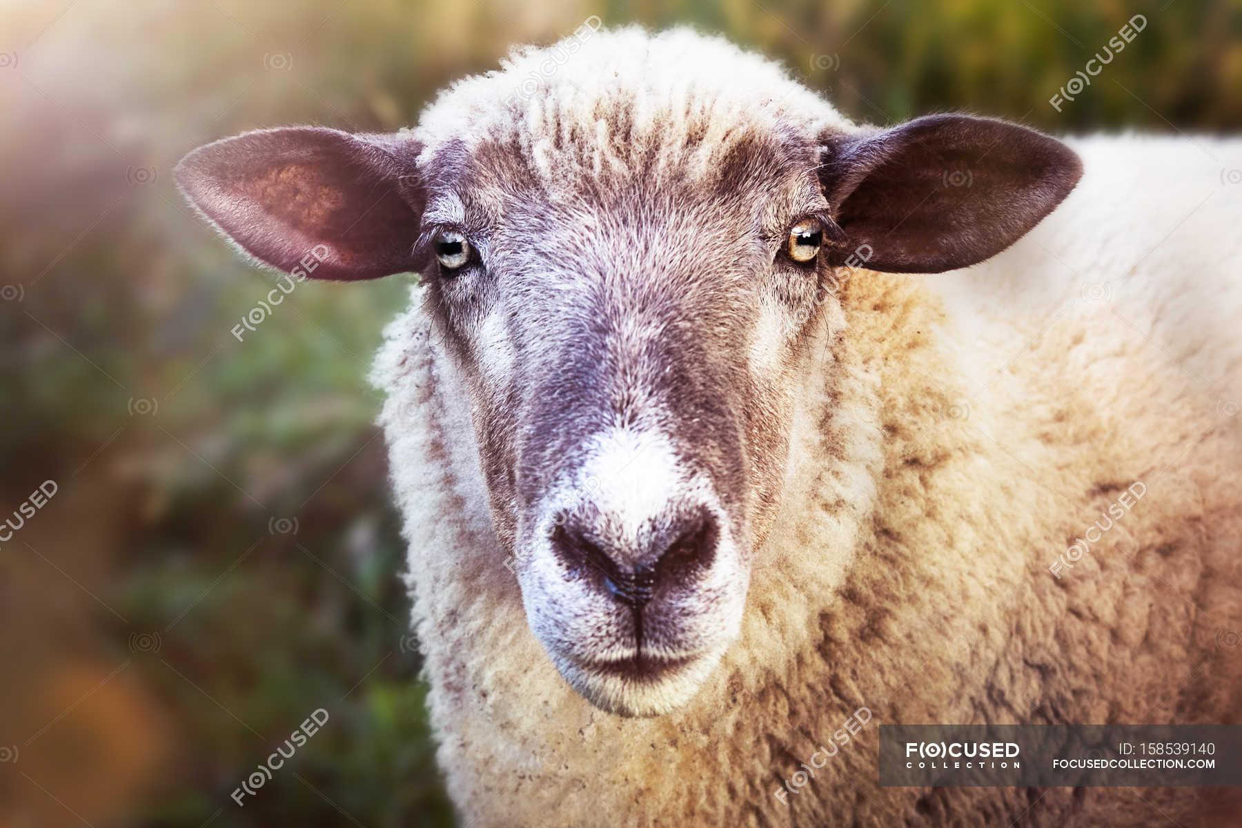 Muso di pecora domestica — secchio di latte con pelle di mucca ... 33954c4f1f4a