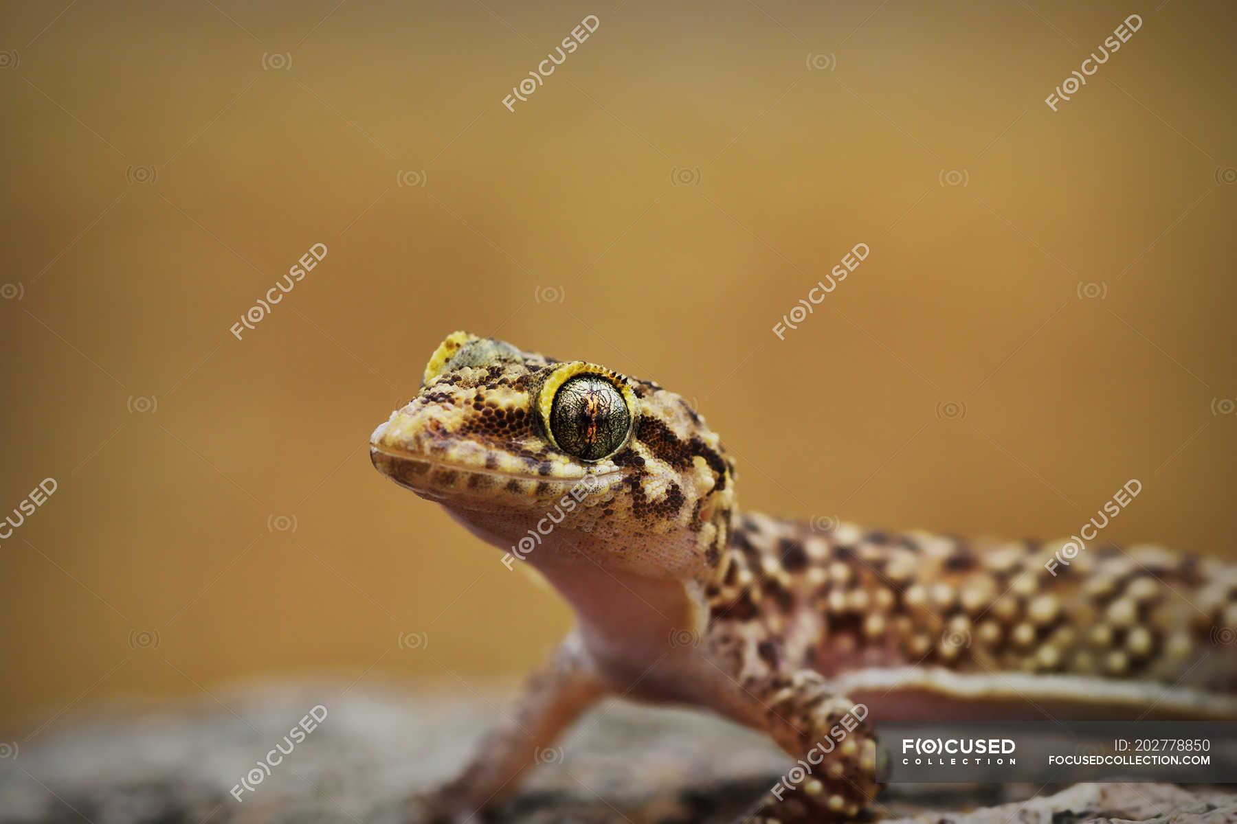 Curious Mediterranean House Gecko Lizard One Animal Animal Body