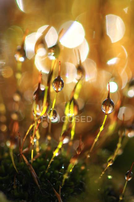 Вид мха ростки каплями росы — стоковое фото