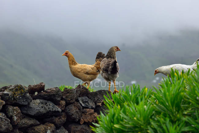 Galline in piedi sulle pietre davanti alle montagne — Foto stock