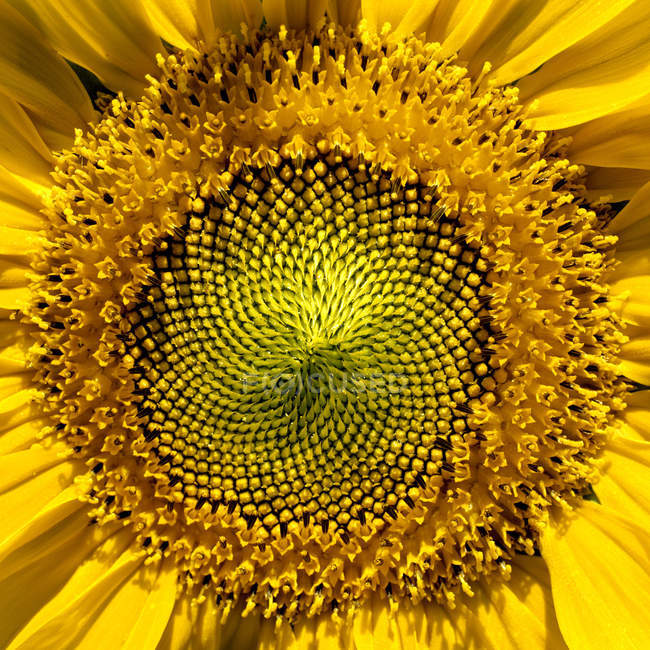 Yellow sunflower, macro — Stock Photo
