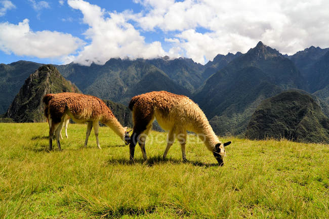 Pair of lamas in Peruvian Andes — Stock Photo