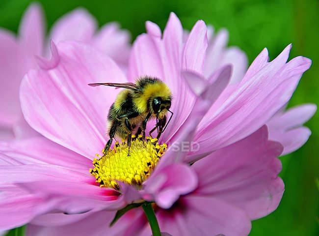 Bumble bee, macro shot — Stock Photo