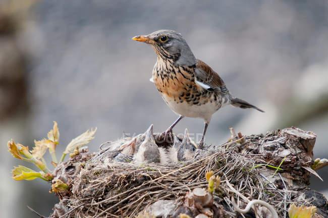 Птица кормления птенцов в гнезде — стоковое фото