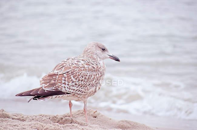 Gabbiano in piedi sulla spiaggia e alla ricerca di acqua — Foto stock