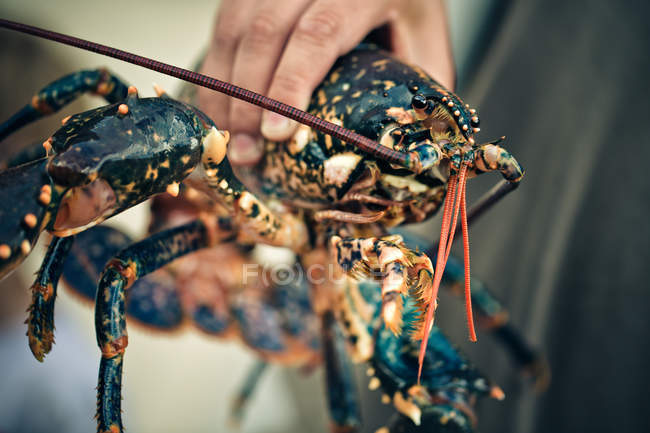 Gros homard de main de l'homme tenue — Photo de stock