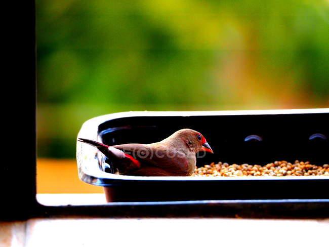 Uccello che si siede nell'alimentatore e che osserva macchina fotografica — Foto stock