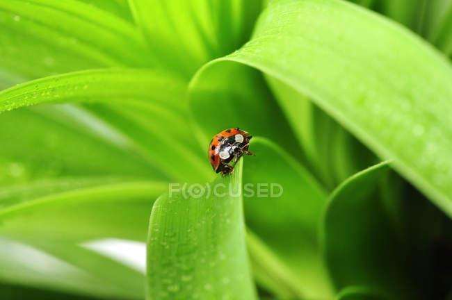 Coccinelle sur l'herbe verte brillante — Photo de stock
