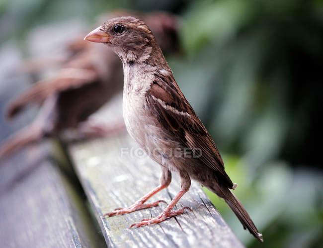 Sparrow brun à la recherche à distance — Photo de stock