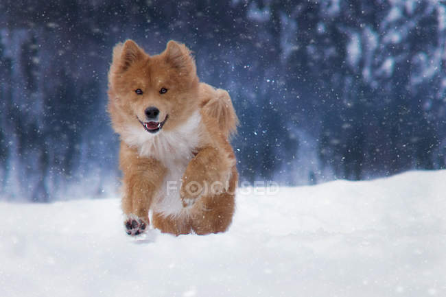 View of fluffy brown dog running in snow — Stock Photo