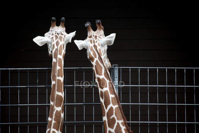 Африканских Жирафы в клетке в зоопарке — стоковое фото