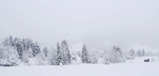 Зимние landsacpe с елями покрыты снегом и колыба — стоковое фото
