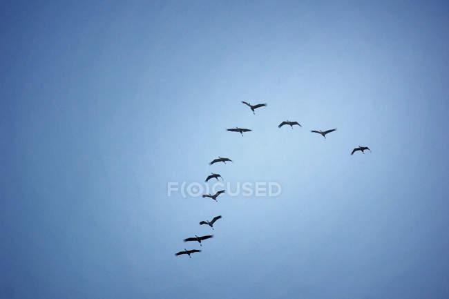 Bandada de migración de aves en el cielo azul - foto de stock