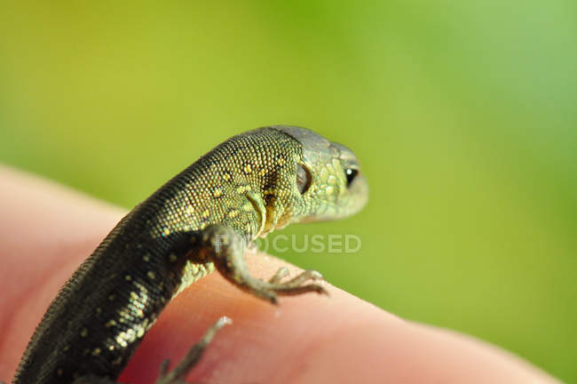 Hand holding colorful lizard — Stock Photo