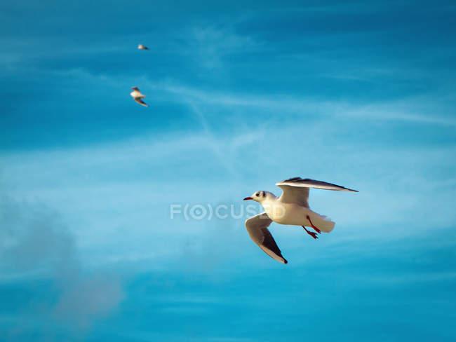 Möwen fliegen in strahlend blauer Himmel — Stockfoto