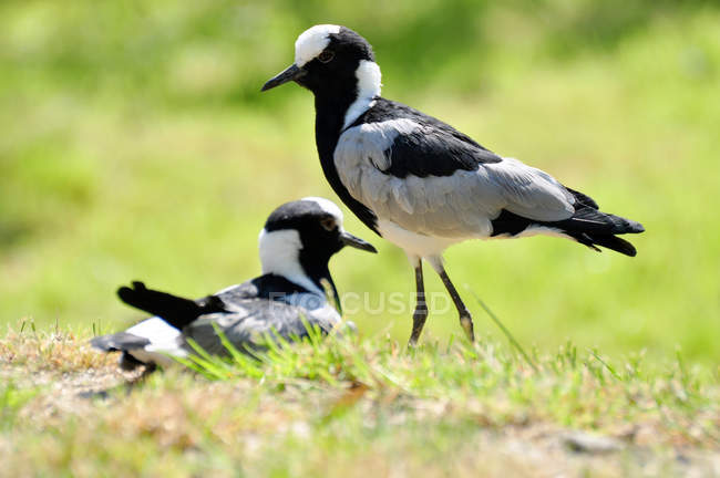 Кузнец Чибис птиц на зелёный луг — стоковое фото