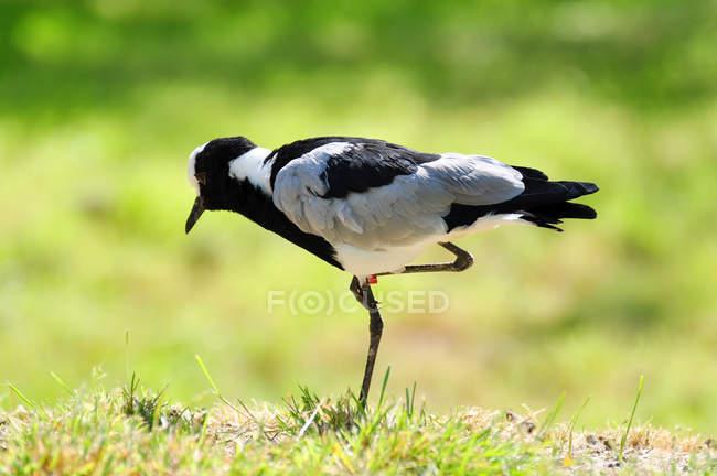 Чибис птица стоя на одной ноге — стоковое фото