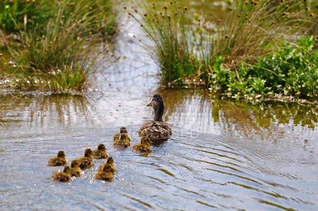 Mamma anatra insegnamento pulcini a nuotare — Foto stock