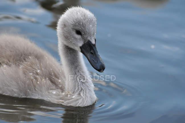 Молодой серый Лебедь, плавание в воде — стоковое фото