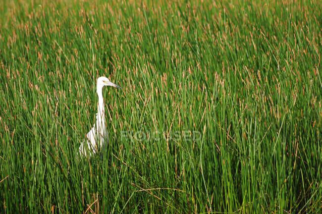 Airone bianco nascondendo in canna — Foto stock