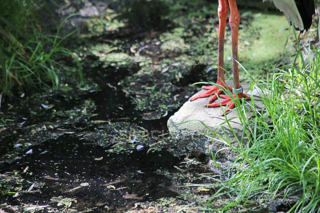 Цапли красный лапы с кольцом — стоковое фото