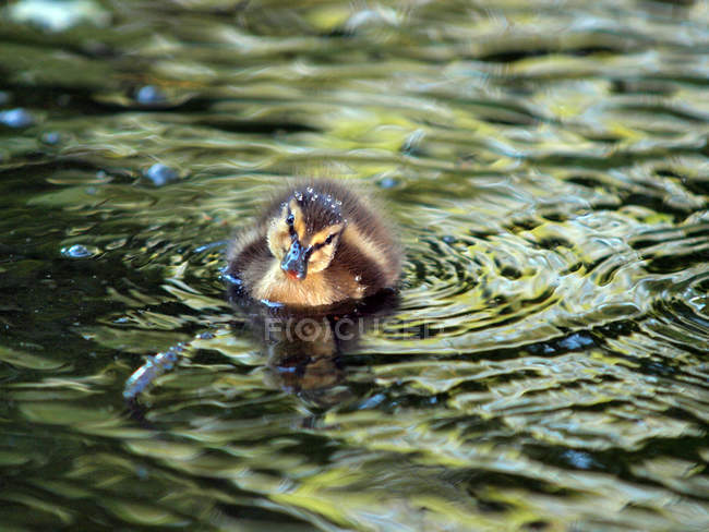 Маленькая утка, купание в озере — стоковое фото