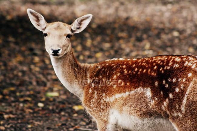 Fulvo de pé na floresta e olhando na câmera — Fotografia de Stock